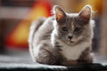 British shorthair kitten sitting on a green carpet close up portrait Royalty Free Stock Photo