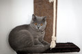British shorthair kitten sitting in her pet bed Royalty Free Stock Photography