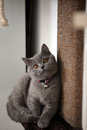British shorthair kitten sitting in her pet bed Stock Photos