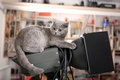British shorthair kitten sitting on a photo studio lighting Royalty Free Stock Images