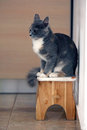 British shorthair kitten sitting on a stool Stock Image
