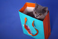 British shorthair kitten in a small shopping bag union jack label Royalty Free Stock Image