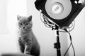 British shorthair kitten and a studio flash light Royalty Free Stock Photography