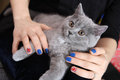British shorthair kitten and union jack flag girl holding a in her hands polished nails Stock Photography