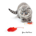 British shorthair kitten on white background with autumn leaves cat Royalty Free Stock Image