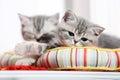 British shorthair kittens napping Royalty Free Stock Photo