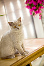 British Shorthair kitty Stock Photography