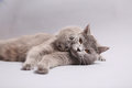 British Shorthair mother with her kitten Royalty Free Stock Photo