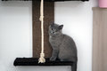 British Shorthair and a rope Royalty Free Stock Photography