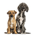 Brittany briard crossbreed dog and jack russel sitting together isolated on white Stock Photos