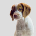 Brittany puppy beautiful week old dog Stock Images