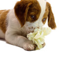 Brittany puppy pretty sniffing a flower Stock Photography