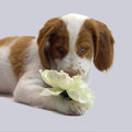 Brittany puppy smelling a flower Stock Image
