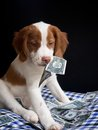 Brittany pupy eating money expensive puppy Stock Photos