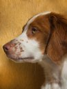 Brittany spaniel puppy profile of a beautiful Stock Image