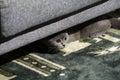 Brittisk kattungeshorthair Arkivfoton