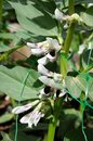 Broad bean plant in flower plants with white andalucia spain western europe Royalty Free Stock Photography