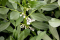 Broad bean pusa sumeet fava bean pusa sumeet vicia faba fabaceae cultivar developed by iari for ncr cultivated herb with pairs of Stock Image