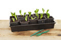Broad bean seedlings Royalty Free Stock Photos