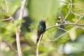Broad-Billed Hummingbird (Cynanthus latrostris) Royalty Free Stock Photography