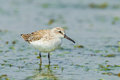 Broad billed sandpipe sandpiper limicola falcinellus finding some food in nature of thailand Stock Photos
