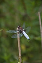 Broad bodied chaser detail relaxing on the stem Stock Photography