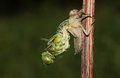 A Broad bodied Chaser Dragonfly Libellula depressa emerging from the back of the nymph .