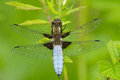 Broad bodied chaser having sunbath Stock Photography