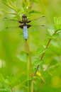 Broad bodied chaser having sunbath Royalty Free Stock Photos
