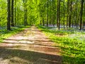 A broad path leading through vibrant purple bluebell woodland, H Royalty Free Stock Photo
