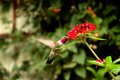 Broad-tailed hummingbird  (Selasphorus platycercus Stock Photo