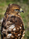 Broad-winged Hawk with Ruffled Feathers Stock Image