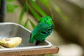 Broadbill vert masculin (viridis de Calyptomena) Photo libre de droits