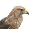 Broadwinged hawk isolated close up of the head and upper body of a on white Stock Photos