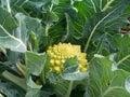 Broccoflower - Romanesco green cauliflower, home grown in garden