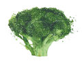 Broccoli cabbage watercolor painting illustration isolated on white background Royalty Free Stock Photo