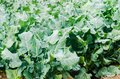 Broccoli growing in the field. fresh organic vegetables agriculture farming. farmland. green leaves close up Royalty Free Stock Photo
