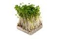 Broccoli Sprouts-Brassica oleracea Royalty Free Stock Photo