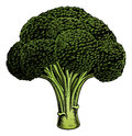 Broccoli vintage woodcut illustration a in a style Stock Image