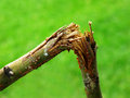 Broken branch snapped over with green grass blurred in background Stock Images