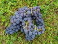 Broken bunches of red grapes lie on a green lawn. Royalty Free Stock Photo
