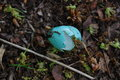 Broken eggshell of a thrush on the forest floor Royalty Free Stock Image