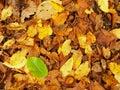 Broken green beech leaf on orange beeches leaves ground vivid autumn colors Royalty Free Stock Photo