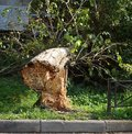 Broken at the root and fallen old house tree Royalty Free Stock Photo