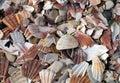 Broken scallop shells litter beach.