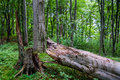 Broken tree an old trunk lying in green forest Royalty Free Stock Photos