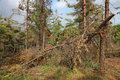 Broken tree pine wood landscape Royalty Free Stock Photography