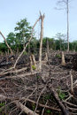Broken trees in a burnt out forest in West Africa Royalty Free Stock Photo