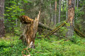 Broken twisted tree after hurricane in green forest Stock Photo
