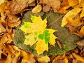 Broken yellow maple leaf on orange beeches leaves ground vivid autumn colors Royalty Free Stock Image